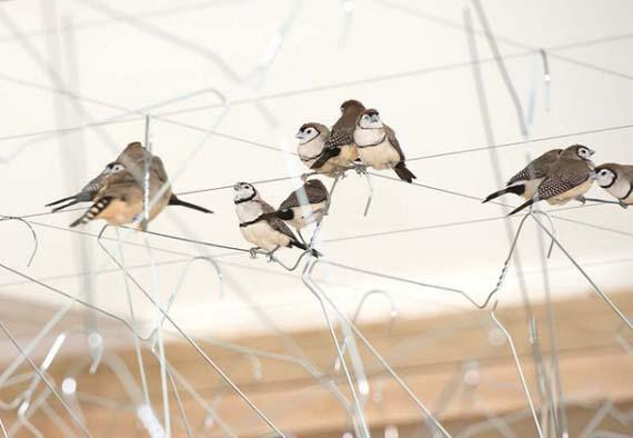 "finches, installation, Queensland, ""Céleste Boursier-Mougenot"", QAGOMA"